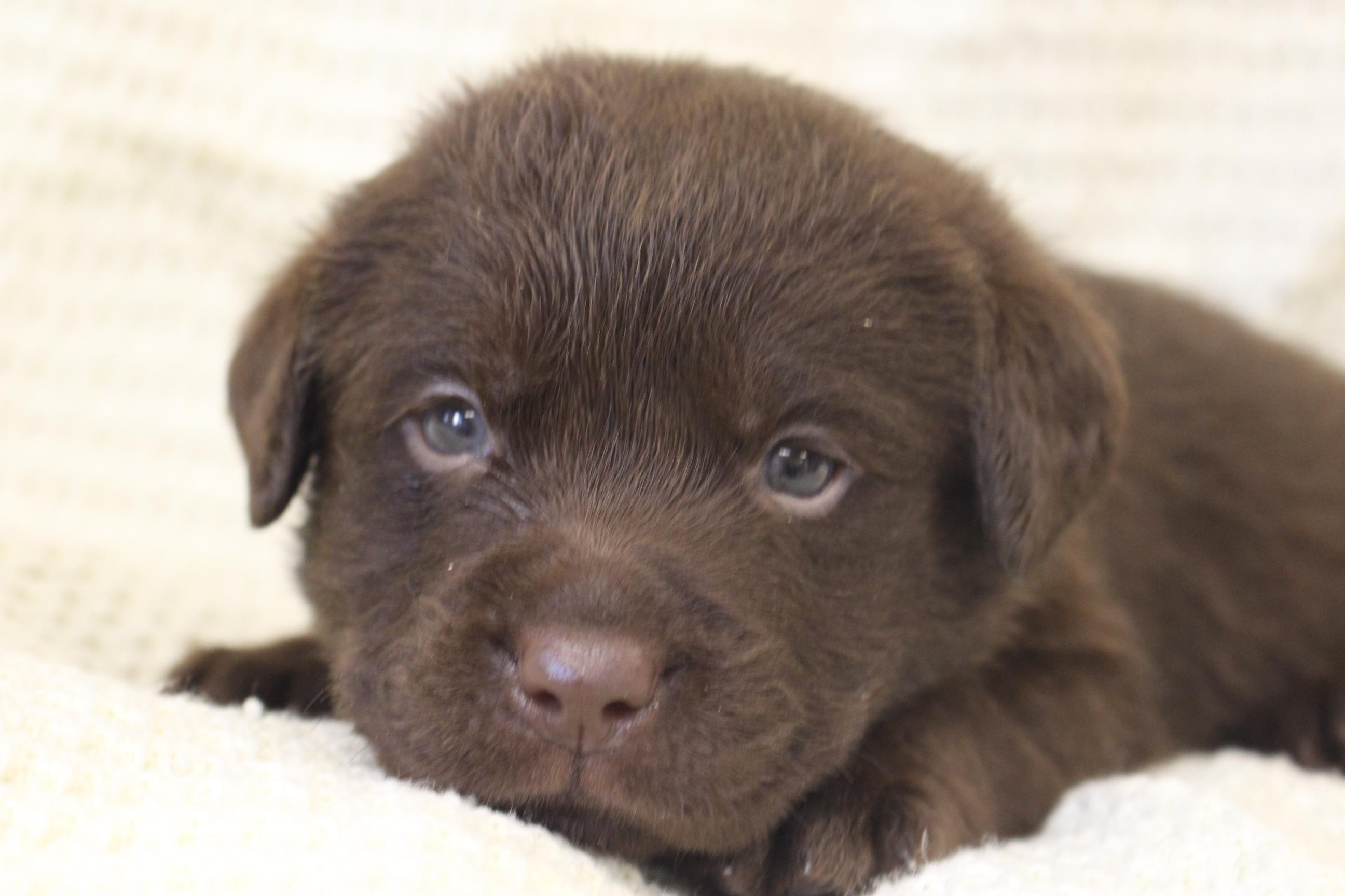 chocolate lab puppy michigan