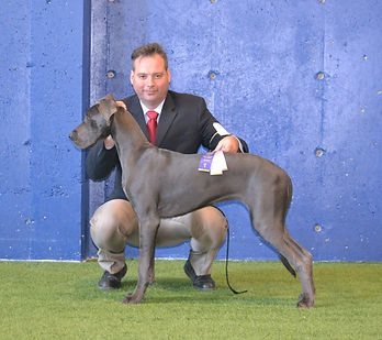 Great Lake Danes in the show ring