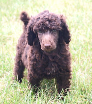 brown standard poodle puppies for sale in michigan