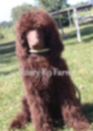 standard poodle puppy michigan