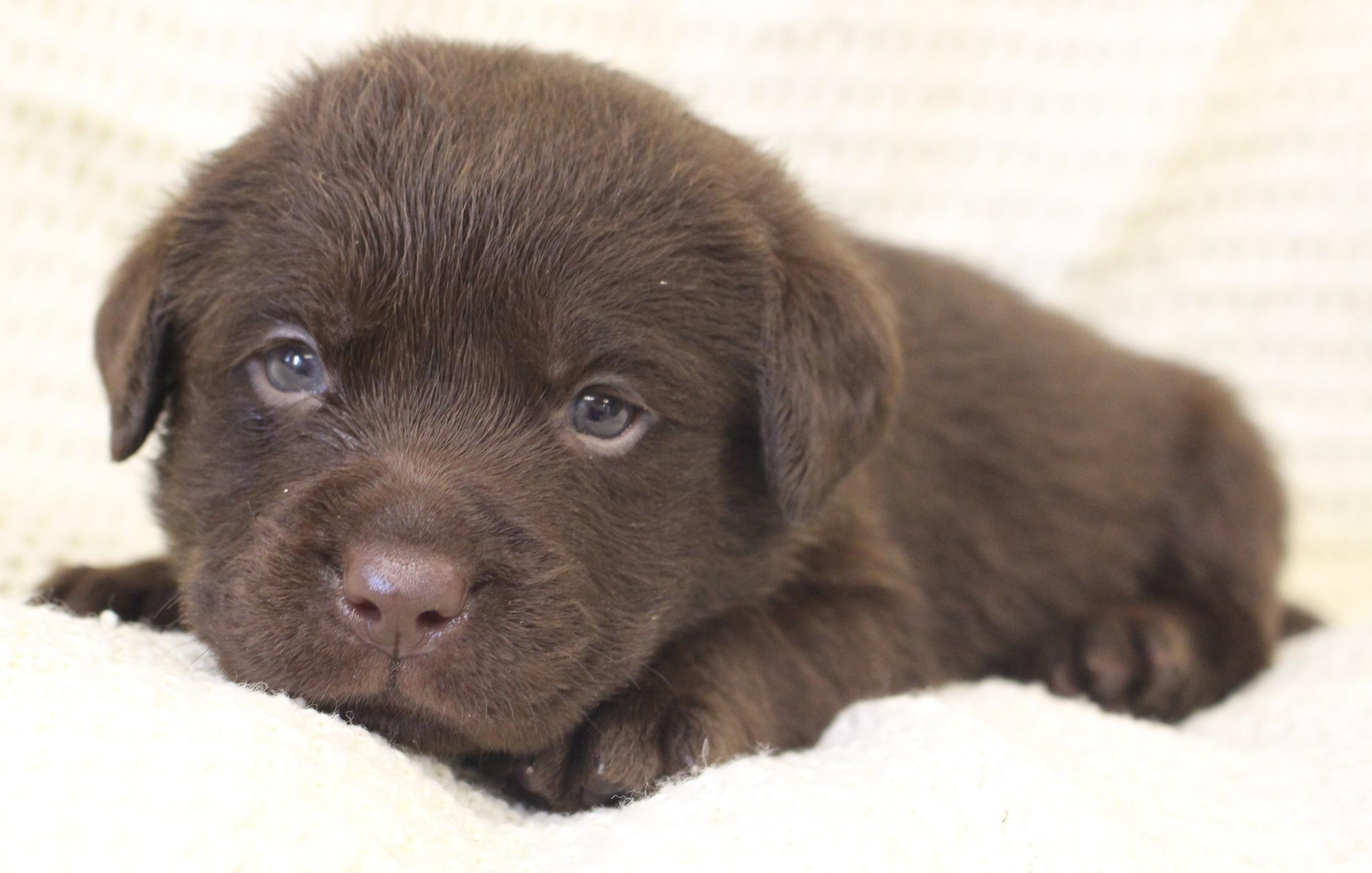 Labrador breeder in Michigan