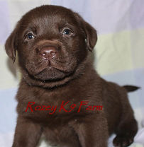 chocolate lab breeders in michigan