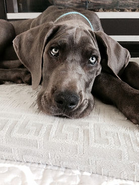 a relaxed great dane