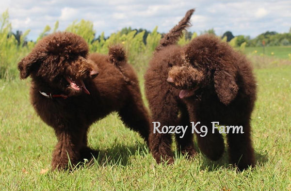 labradoodle breeders in michigan