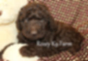 Chocolate labradoodle puppies in michiga