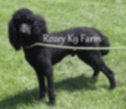 black standard poodles in michigan