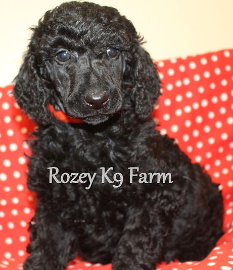 black standard poodle puppies for sale