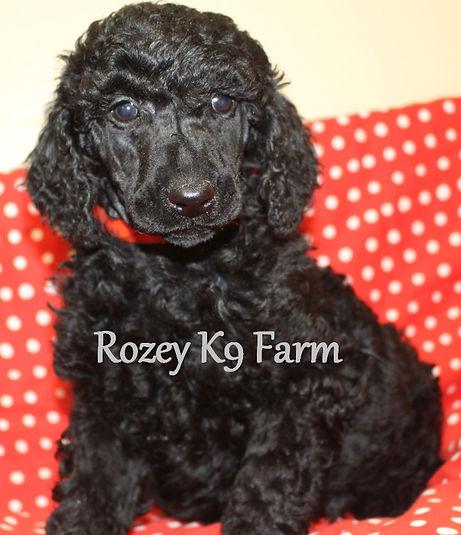 black standard poodle puppies for sale
