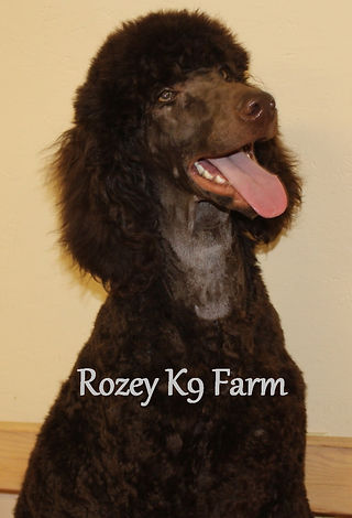 Standard Poodles For Sale In Michigan Poodle Puppies From