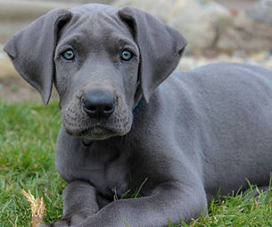 blue great dane Mabel