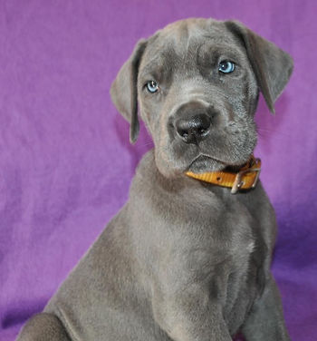 Blue great dane puppies