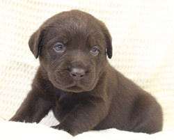 English Lab pup in michigan