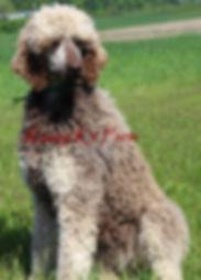 standard poodle breeders in michigan
