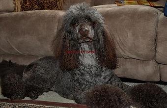 Standard Poodle breeder in michigan