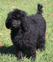 standardpoodles for sale in michigan