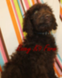 chocolate labradoodle pups for sale