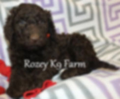 chocolate labradoodle pups michigan