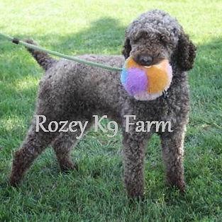 moyen poodle puppies for sale