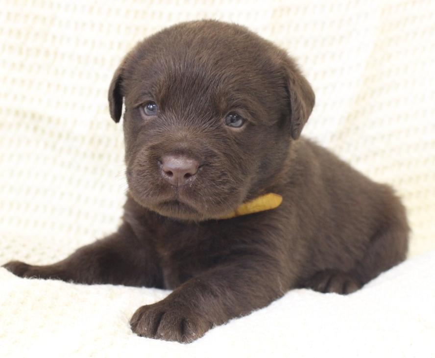 lab puppy in michigan