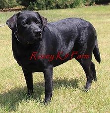 Black English Labrador Retriever female | Rozey K9 Farm