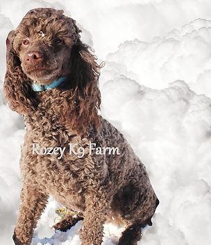 moyen poodle breeders