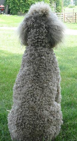 Silver Beige Standard Poodle|Rozey's K9 Farm