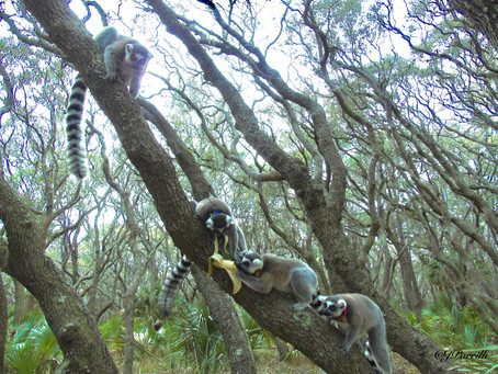 WEEK TWELVE - Lemur Profiles: Picnic Bluff