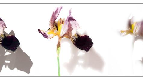 Notre vie de fleurs  Jour coloré, ombre nuit  Notre vie de pleurs    Lan Trividic