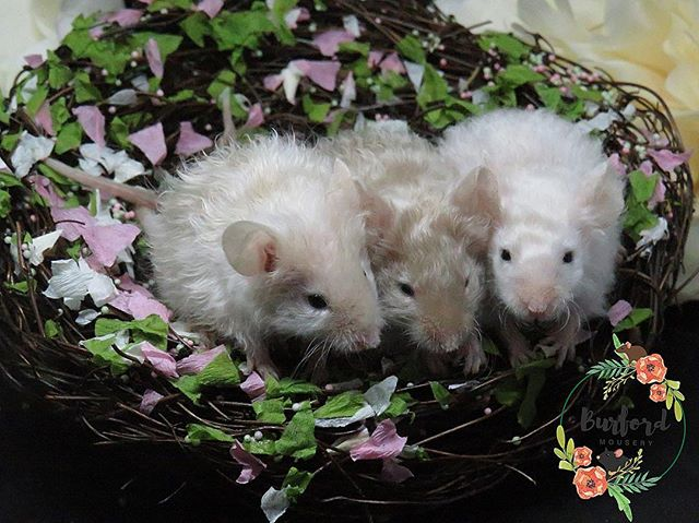 Adopting mice from Burford Mousery__We b
