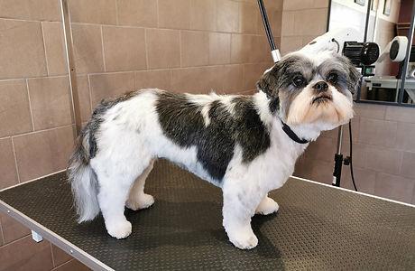 chien coupe ciseaux toiletteur bruyeres vosges