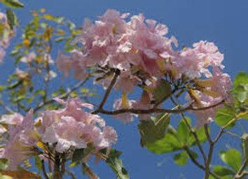 Pink Poui