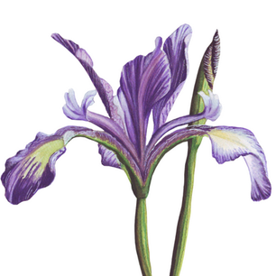 African Iris painting