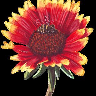A type of sunflower from my garden