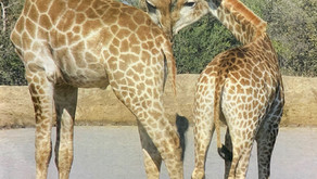 The Giraffes that became a love letter