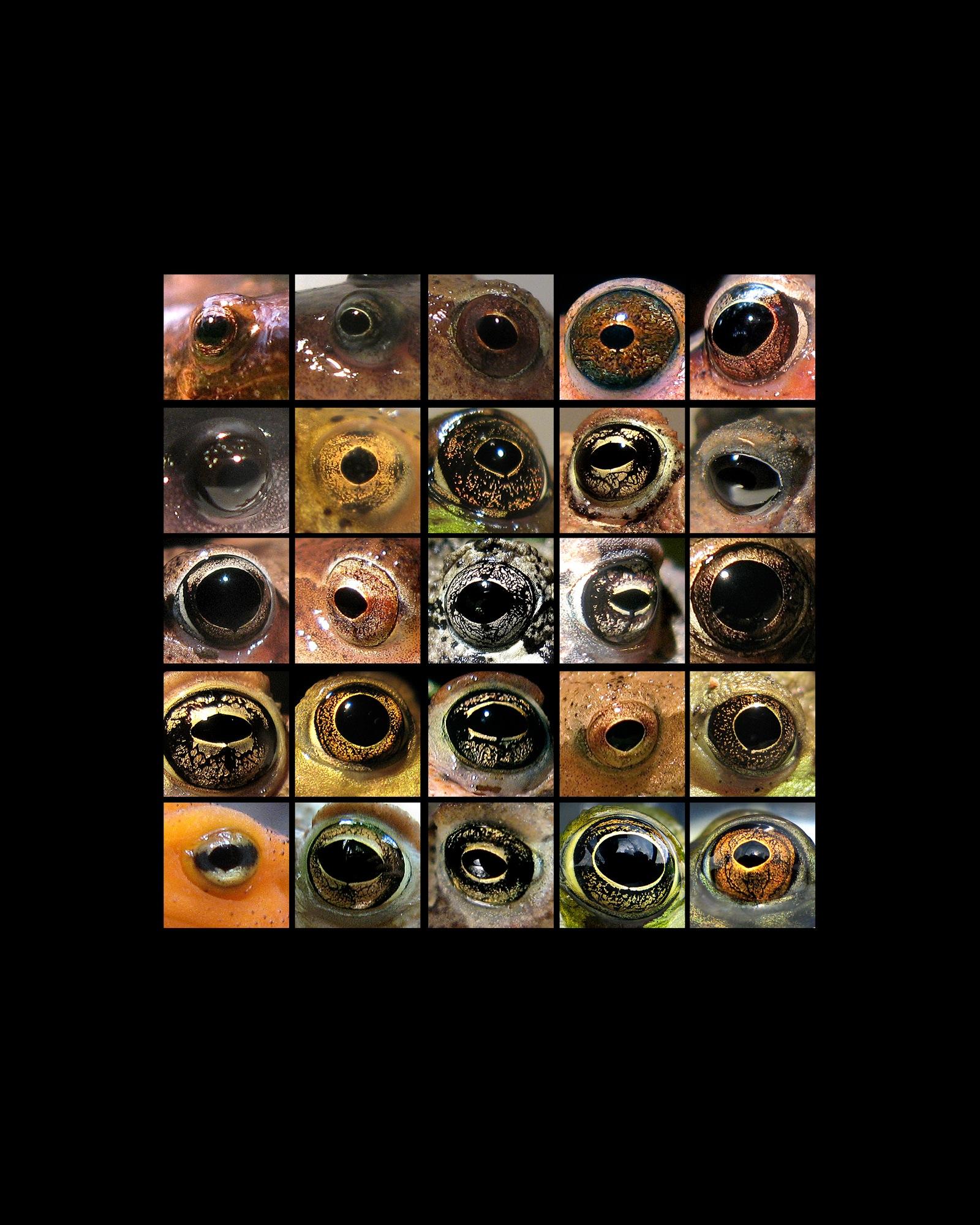 amphibian eyes grid 8x10 copy 3.jpg