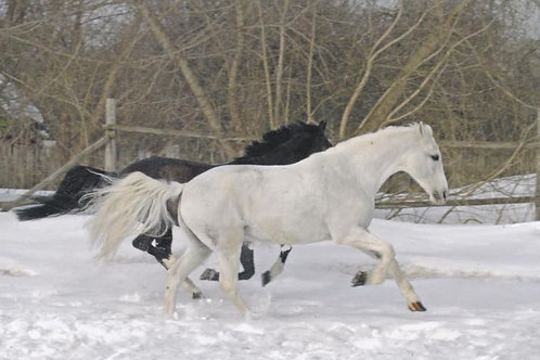 Running Horses in the Snow - Pack of 10 cards