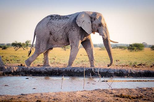 Elephants PowerPoint: Habitat, Prey, and Behaviors