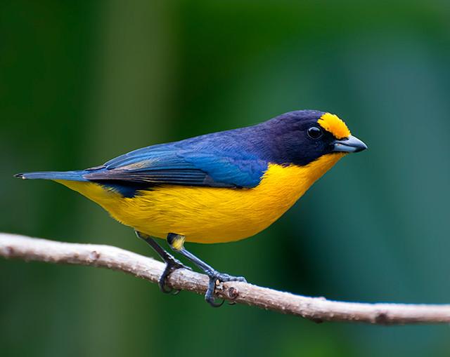The Euphonia, a Costa Rican songbird