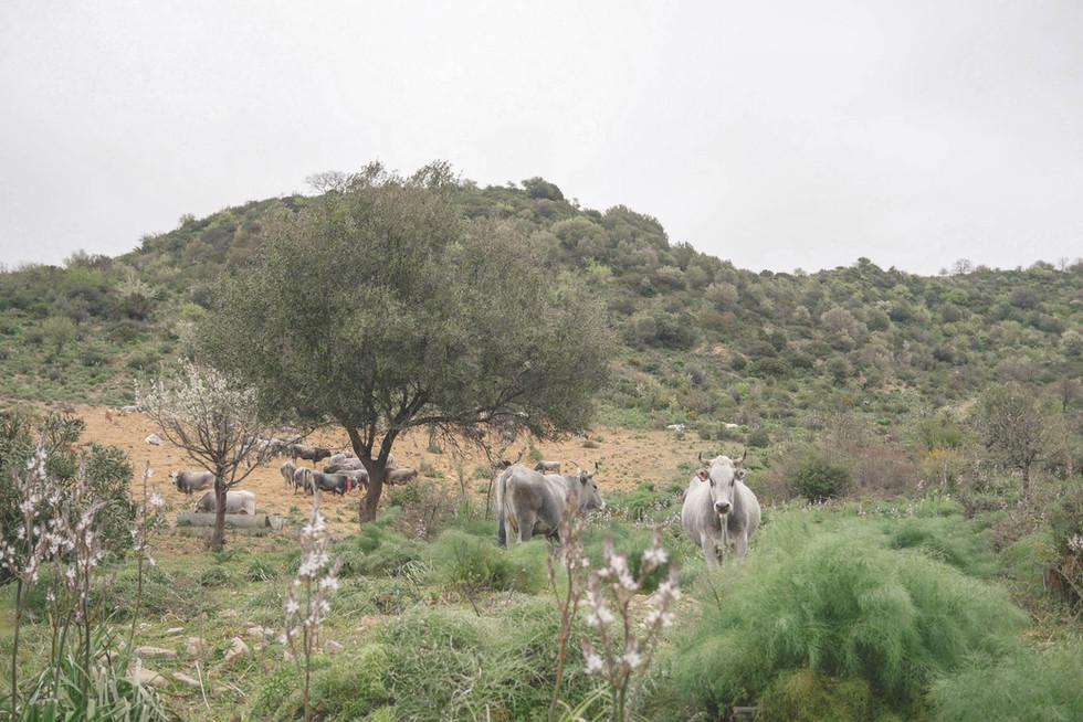 cows-calabria-italia.jpg