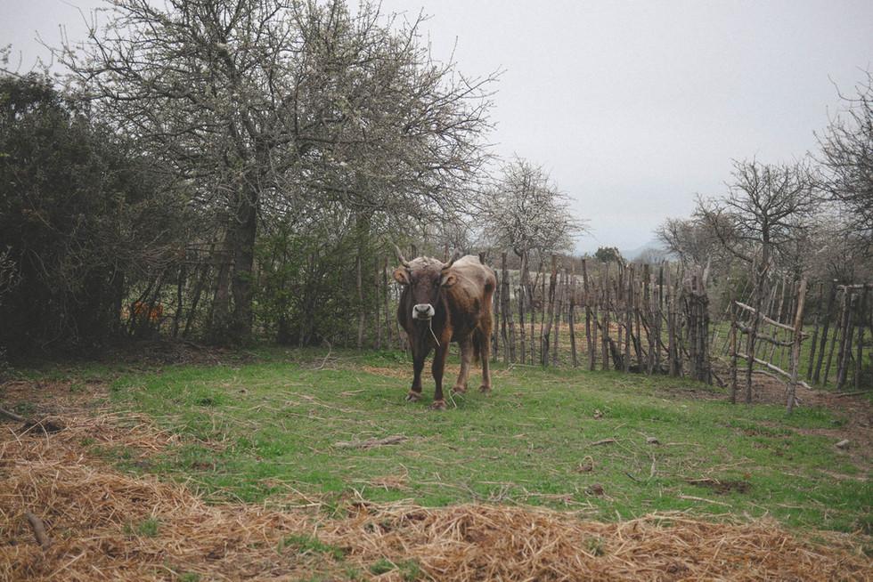 cow-calabria-italia.jpg