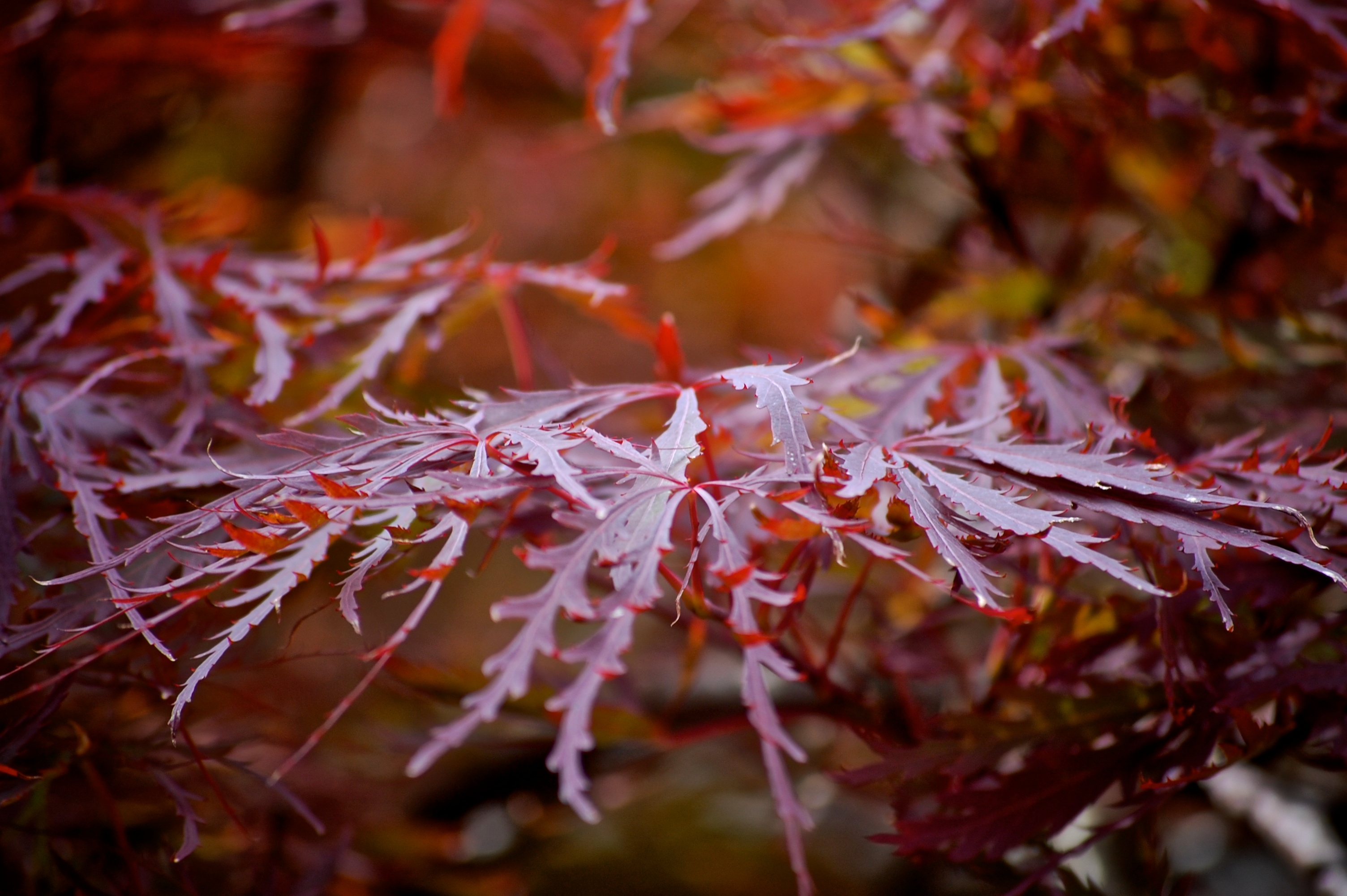 where the red japanese maple grows