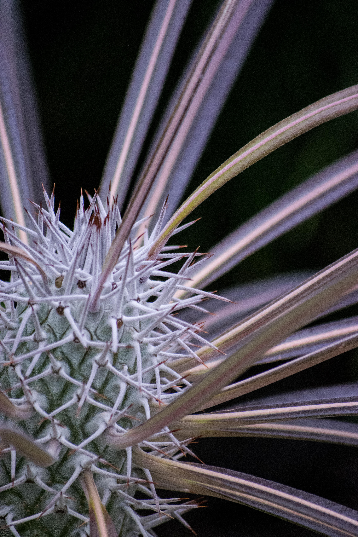 prickly explosion