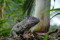 iguana in the trees