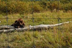 bear gets shy