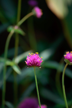 like a chive flower