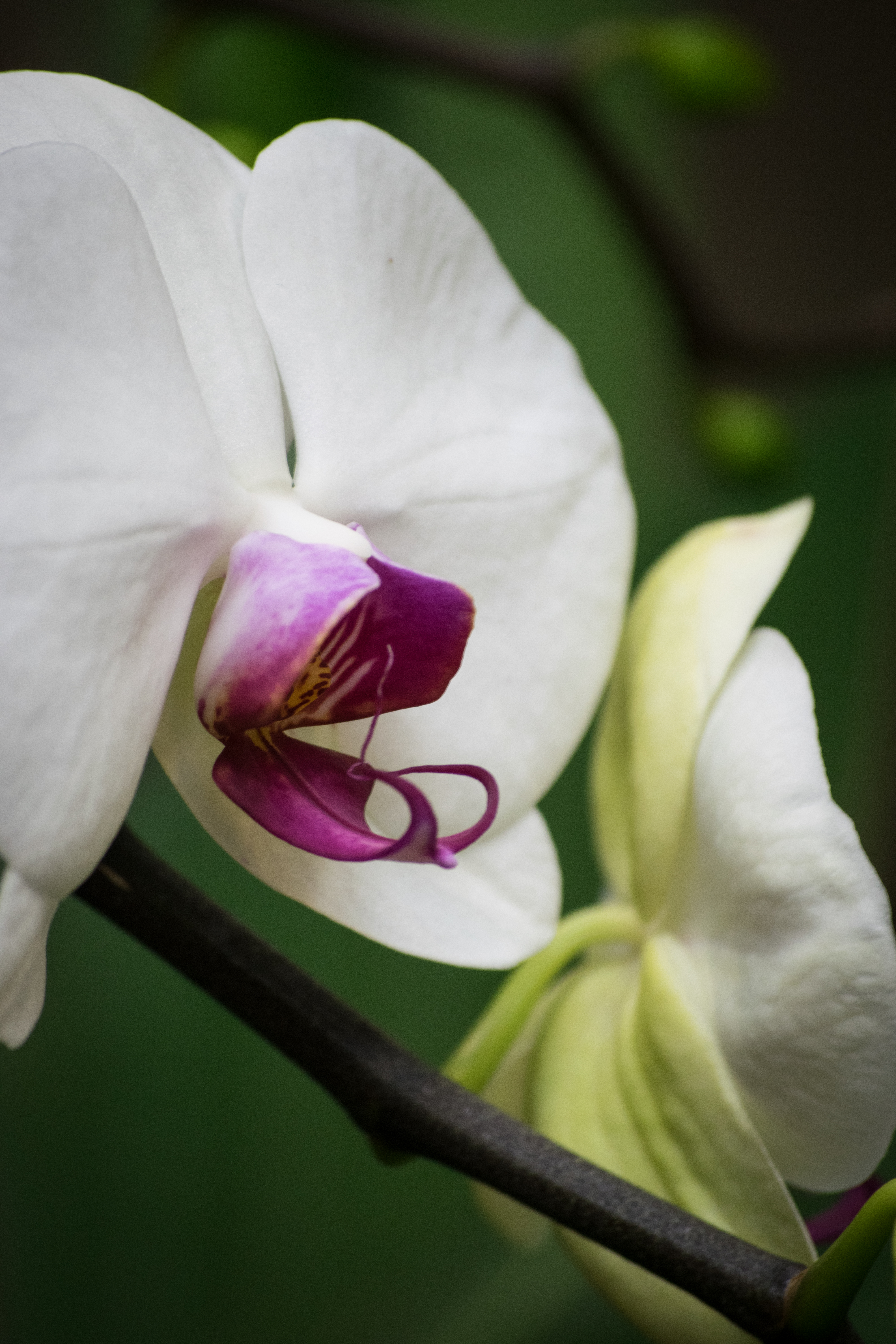 the orchid with the snake tongue