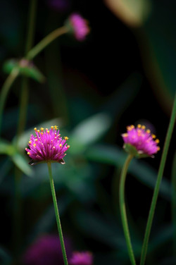 like a chive flower no.2