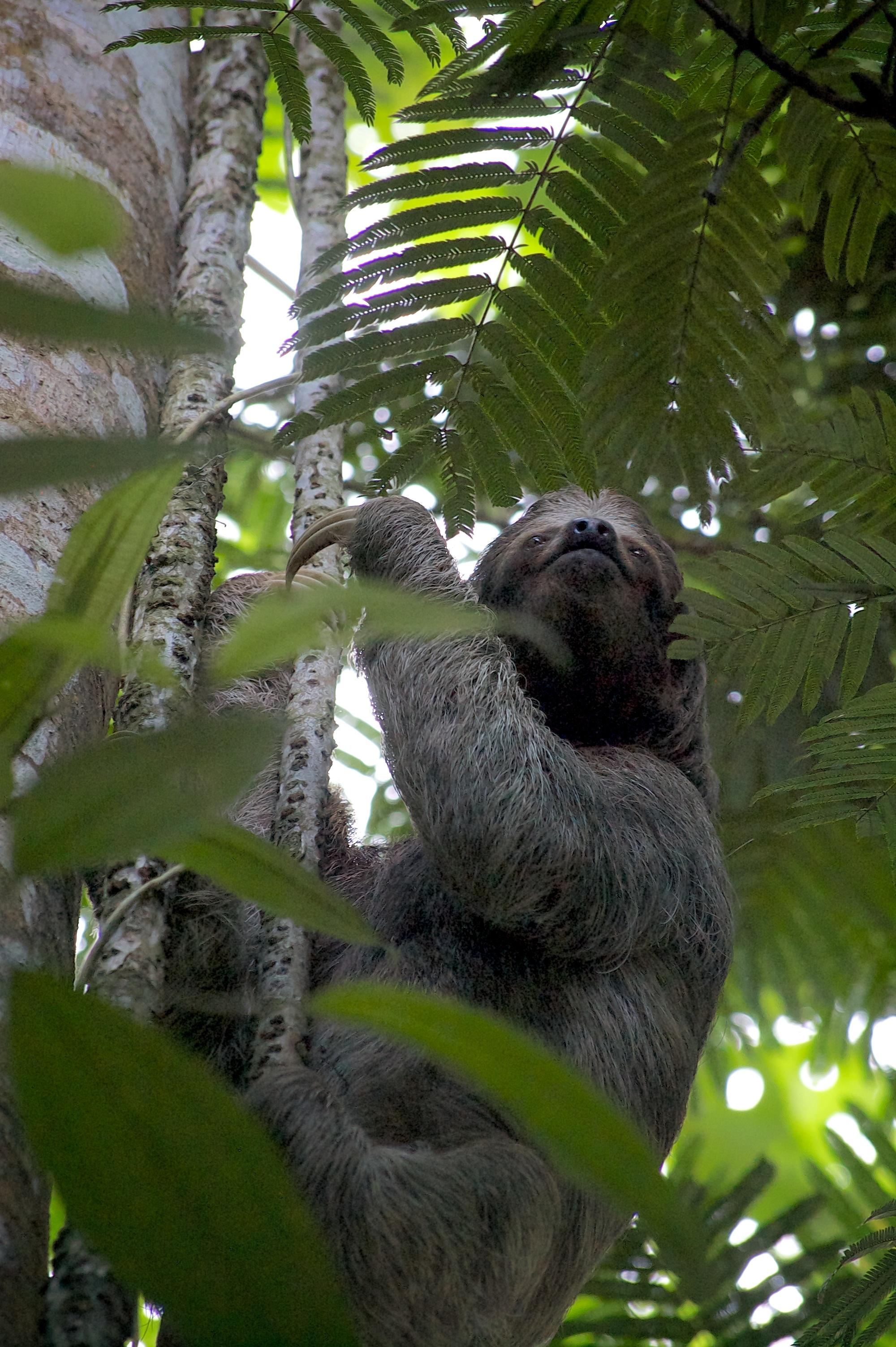 sloth no.1