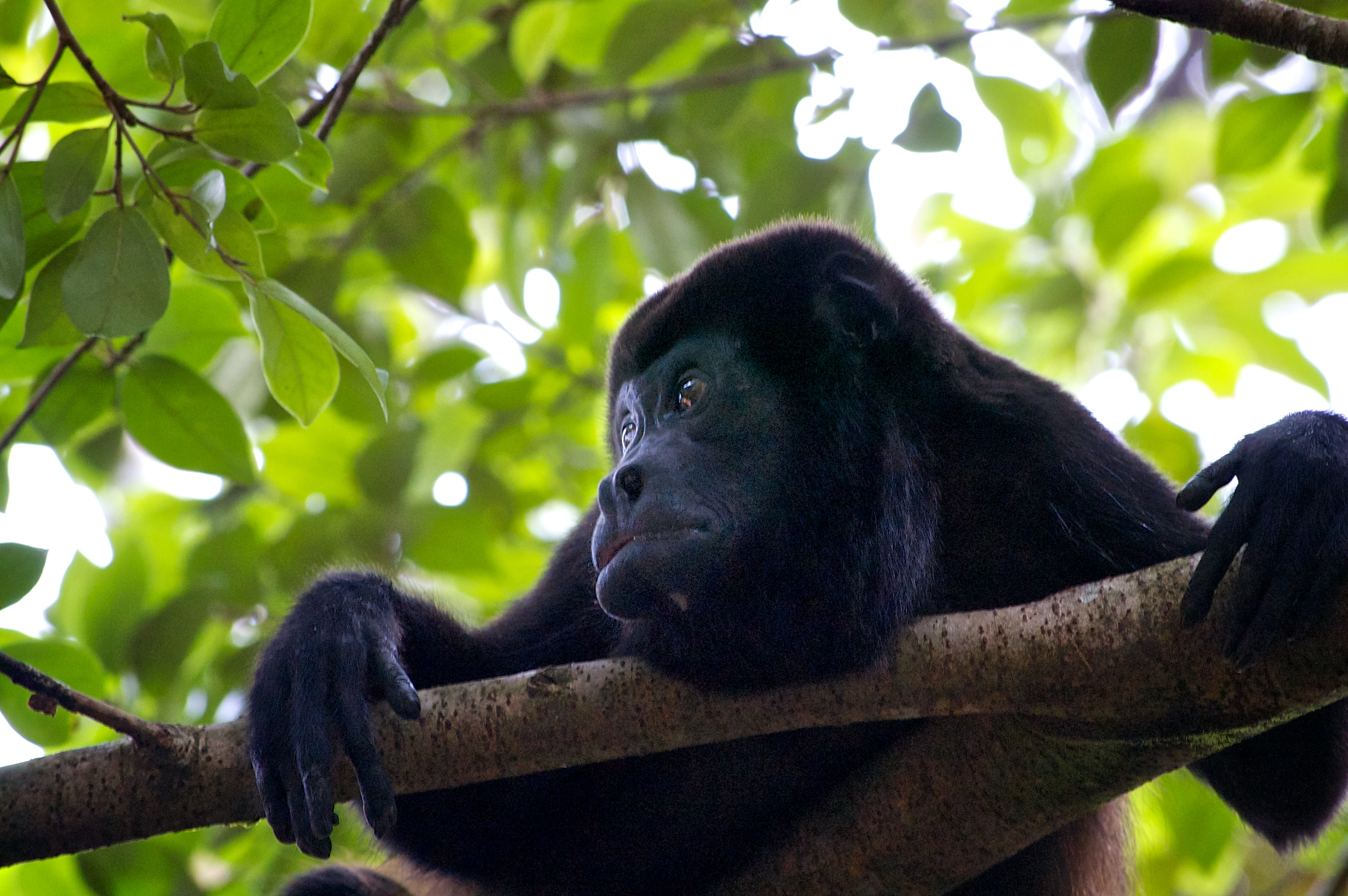 howler monkey hang time no.1