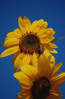 sunflowers in maine